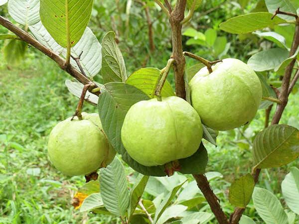 Cây ổi loài cây hỗ trợ điều trị tiểu đường