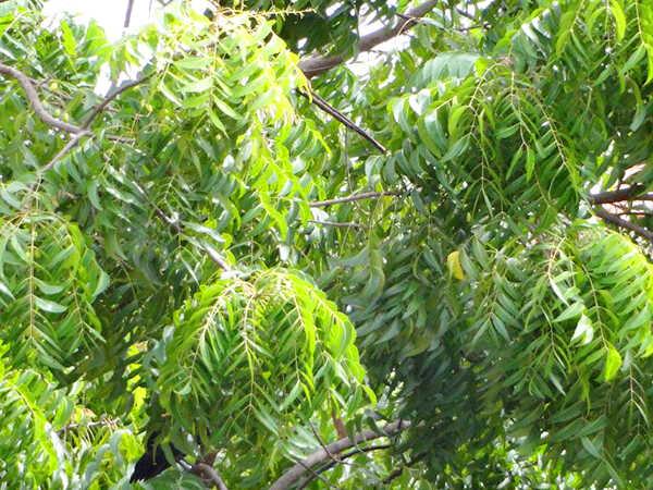 Cây sầu đâu loài cây hỗ trợ điều trị tiểu đường
