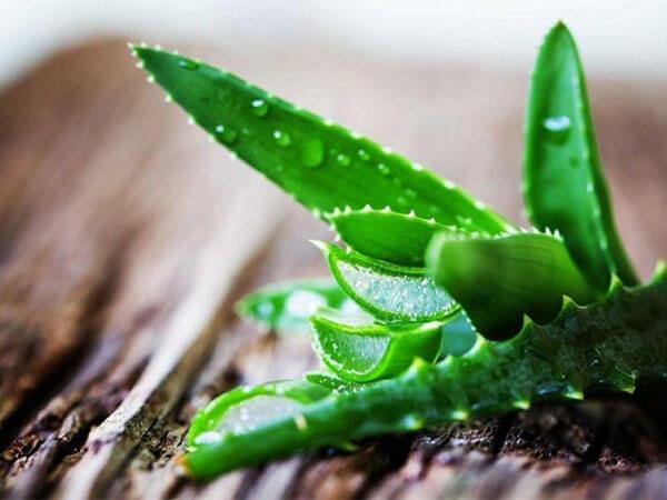 Lô hội là chất bổ sung giúp hạ đường huyết ở người bệnh tiểu đường