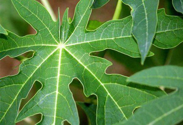 Dùng lá đu đủ chữa tiểu đường có thực sự hiệu quả?