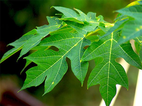 Công dụng của lá đu đủ trong chữa tiểu đường?