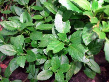 Tìm hiểu về cách chữa bệnh tiểu đường bằng cây rau lủi