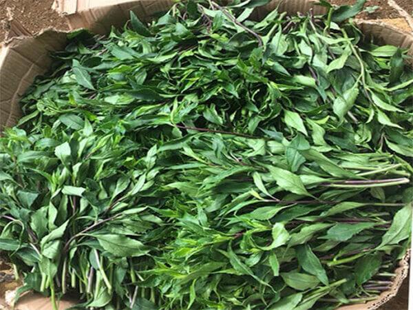 Cách trị bệnh tiểu đường bằng cây rau lủi tươi
