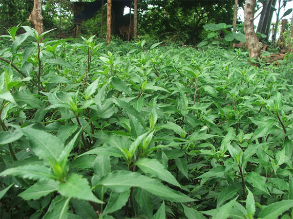 Có thể chữa bệnh tiểu đường bằng cây rau lủi hay không?