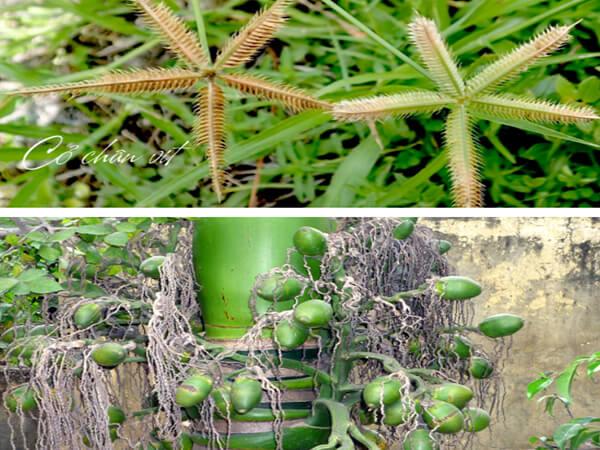 Bài thuốc dùng cỏ chân vịt trị tiểu đường kết hợp cau tươi